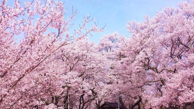 【 民泊 】ゲストに教えたい、東京お花見スポット10選ご紹介(10位~6位編)