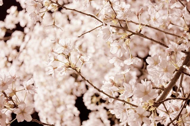 激増、お花見需要!花見シーズンの民泊利用は前年の4倍、70万人に!